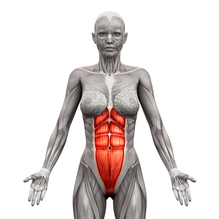 torso: Rectus Abdominis - Abdominal Muscles - Anatomy Muscles isolated on white - 3D illustration
