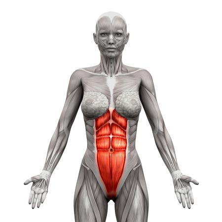 Rectusabdominis - buikspieren - Anatomie Spieren geïsoleerd op wit - 3D illustratie