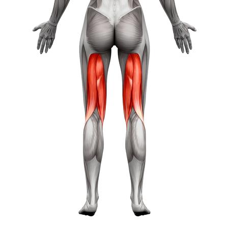 Beinbeuger Muskeln - Anatomie Muskel isoliert auf weiß - 3D-Darstellung Standard-Bild - 58756532
