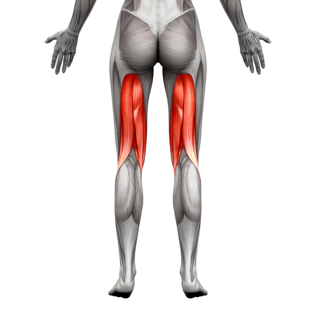 hamstrings: Hamstrings Muscles - Anatomy Muscle isolated on white - 3D illustration