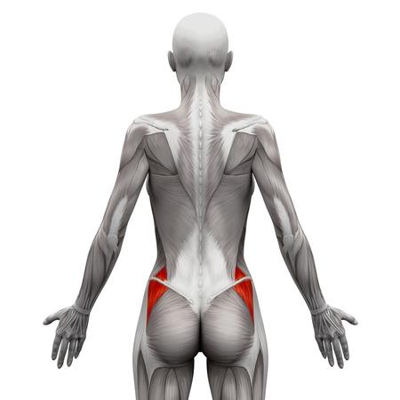 feminino: Glúteo médio - Músculos anatomia isolado no branco - ilustração 3D