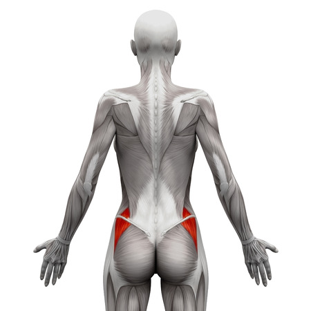sexo femenino: Glúteo medio - Músculos anatomía aislados en blanco - ilustración 3D