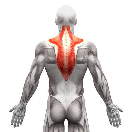 M. trapezius - Anatomie Muskeln isoliert auf weiß - 3D-Darstellung Standard-Bild - 58756538