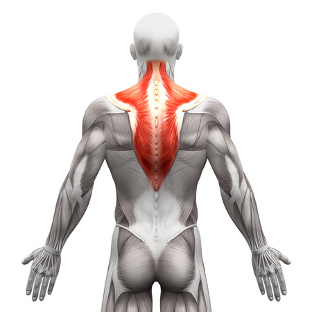 trapezius: Trapezius Muscle - Anatomy Muscles isolated on white - 3D illustration