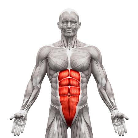 Rectus abdominis - mięśnie brzucha - anatomia mięśnie samodzielnie na białym tle - 3d ilustracji