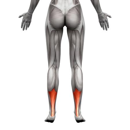 Tensor Faszien Latae - Anatomie Muskeln Isoliert Auf Weiß - 3D ...
