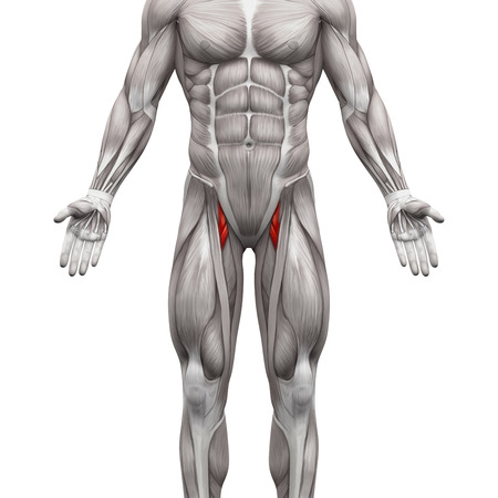 Adductor Brevis and Adductor Longus Muscle - Anatomy Muscles isolated on white - 3D illustration