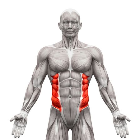 male chest: External Oblique Muscles - Anatomy Muscles isolated on white - 3D illustration
