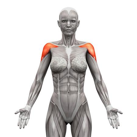 Kinesiologist Or Physiotherapist Treating Anterior Deltoid Stock ...