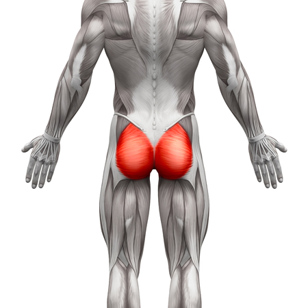 Gluteal Muscles  Gluteus Maximus - Anatomy Muscles isolated on white - 3D illustration Stock Photo
