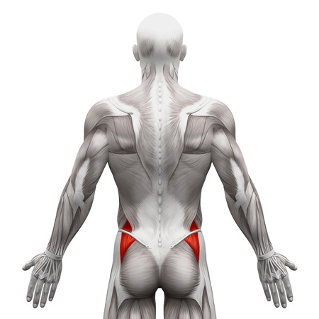 back view man: Gluteus Medius - Anatomy Muscles isolated on white - 3D illustration