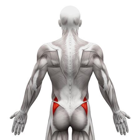 tendon: Gluteus Medius - Anatomy Muscles isolated on white - 3D illustration