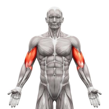 上腕二頭筋の筋肉解剖筋白 - 3 D イラストレーションで隔離 写真素材
