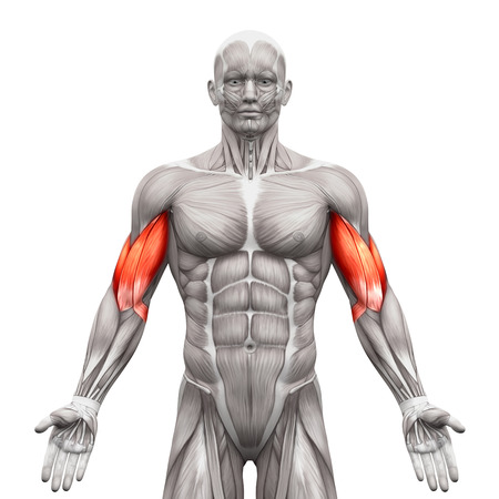 Biceps Muscles - Anatomy Muscles isolated on white - 3D illustration Imagens