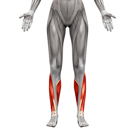 inferior: Calf Muscles - Anatomy Muscles isolated on white - 3D illustration