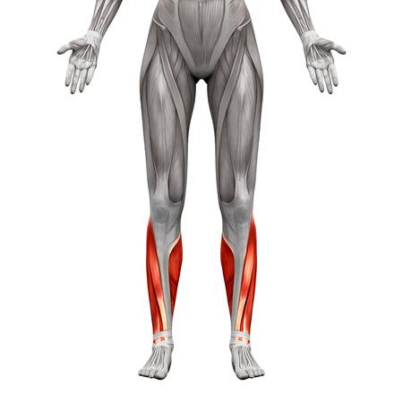 Los Músculos De La Pantorrilla - Músculos Anatomía Aislados En El ...