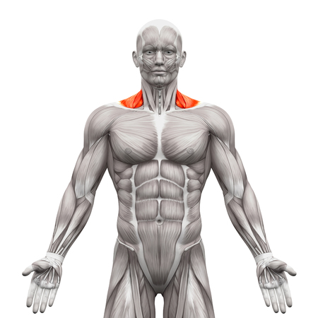 trapezius: Trapezius Front Neck Muscles - Anatomy Muscles isolated on white - 3D illustration