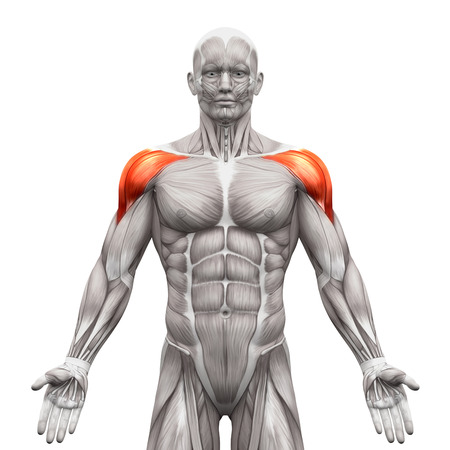 strong men: Deltoris Muscles Anterior - Anatomy Muscles isolated on white - 3D illustration Stock Photo