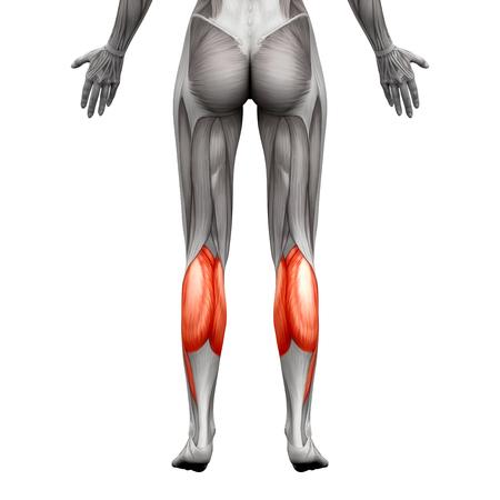 fu�sohle: Kalb-Muskel - Gastrocnemius, Plantar Anatomie Muskel - isoliert auf wei� - 3D-Darstellung Lizenzfreie Bilder