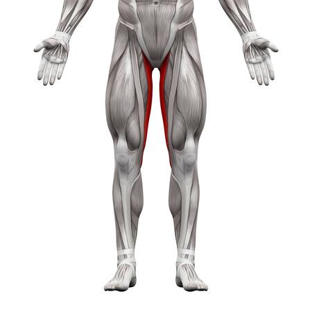 Gracilis Muscle - Anatomie Spieren geïsoleerd op wit - 3D illustratie Stockfoto