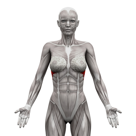 anterior: Serratus Anterior Muscles - Anatomy Muscles isolated on white - 3D illustration