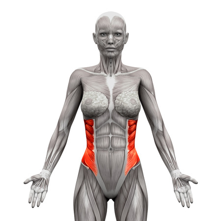 transverse: External Oblique Muscles - Anatomy Muscles isolated on white - 3D illustration