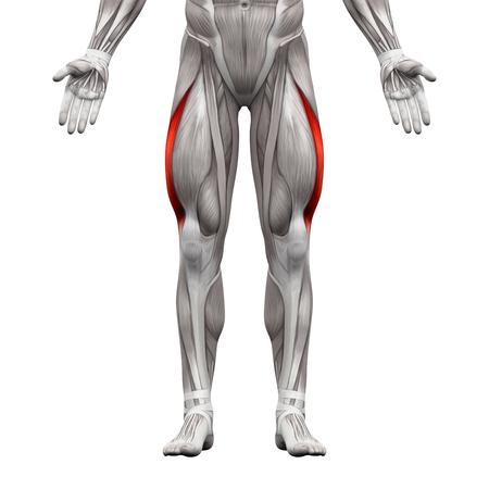 ホワイト - 3 D イラストレーションに分離された外側広筋 - 筋肉解剖学 写真素材