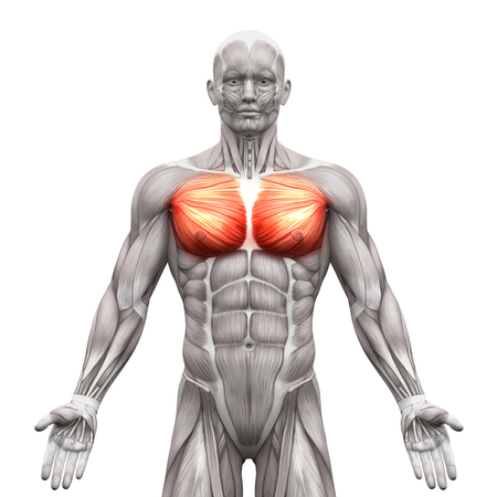 Chest Muscles - Pectoralis Major and Minor - Anatomy Muscles isolated on white - 3D illustration