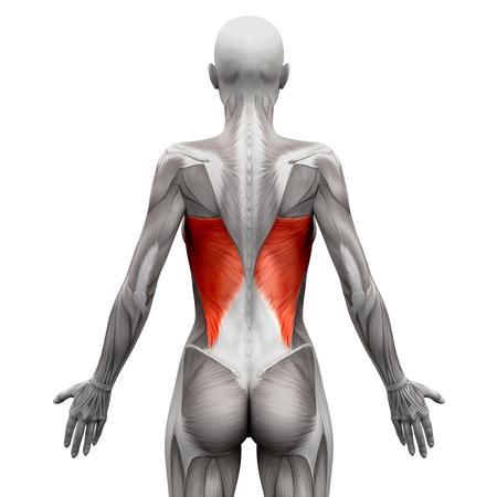 tendon: Latissimus Dorsi - Anatomy Muscles isolated on white - 3D illustration