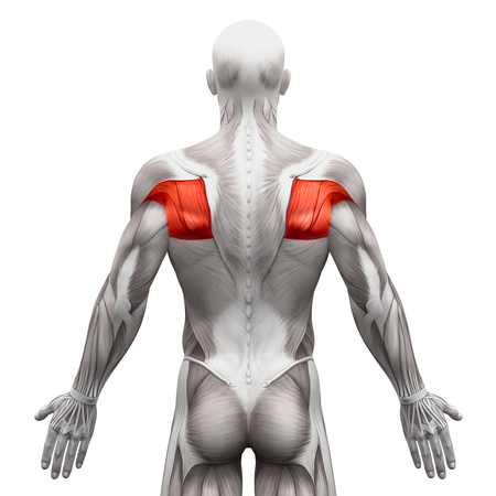 Chest Muscles Pectoralis Major And Minor Anatomy Muscles Stock