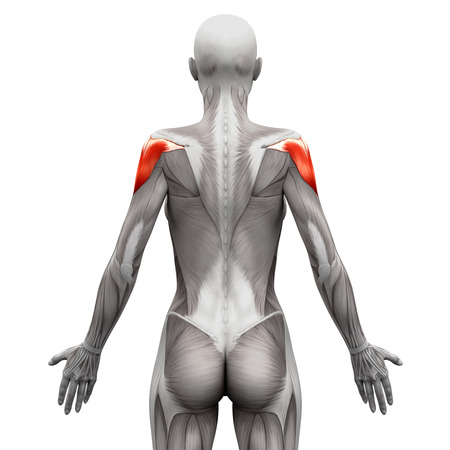 deltoid: Deltoid Muscle - Anatomy Muscles isolated on white - 3D illustration Stock Photo