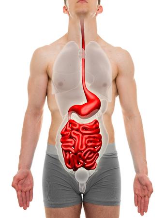 guts: Guts Male - Digestive System - Internal Organs Anatomy - 3D illustration Stock Photo