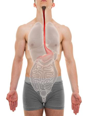 esófago: Esófago masculino - anatomía interna Órganos - ilustración 3D