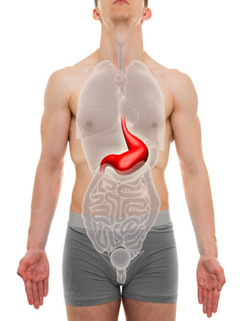 body torso: Stomach Male - Internal Organs Anatomy - 3D illustration