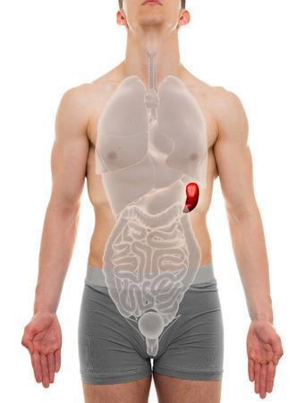 spleen: Spleen Male - Internal Organs Anatomy - 3D illustration