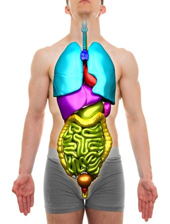 anatomie humaine: Orgues Homme - organes internes Anatomie Banque d'images