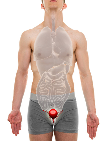 bladder: Bladder Male - Internal Organs Anatomy - 3D illustration Stock Photo