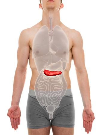 pancreas: Pancreas Male - Internal Organs Anatomy - 3D illustration