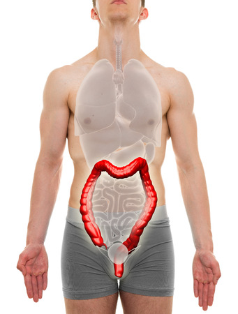 intestine: Large Intestine Male - Internal Organs Anatomy - 3D illustration Stock Photo