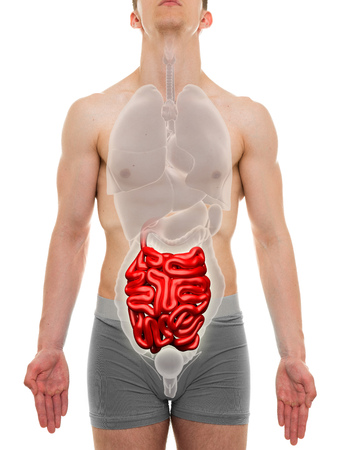 intestine: Small Intestine Male - Internal Organs Anatomy - 3D illustration