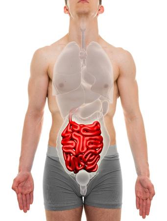 small intestine: Small Intestine Male - Internal Organs Anatomy - 3D illustration