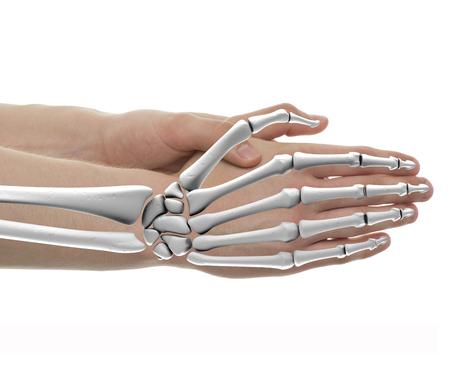 Hand Bones Male Anatomy - Studio shot with 3D illustration isolated on white