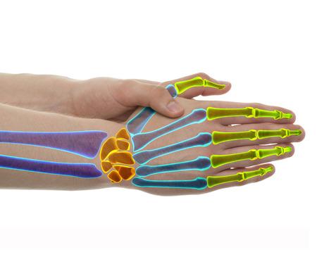 Los huesos de la mano de color independientes - Estudio de disparo con la ilustración 3D aislada en blanco
