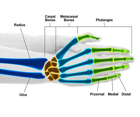 Mano y huesos de la muñeca - estudio de disparo con la ilustración 3D aislada en blanco Foto de archivo