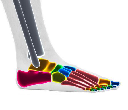 Foot Ankle Bones - Anatomy Male - Studio photo isolated on white