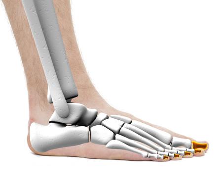 Proximale Bones - Anatomie Male - Studio Foto Auf Weißem Lizenzfreie ...