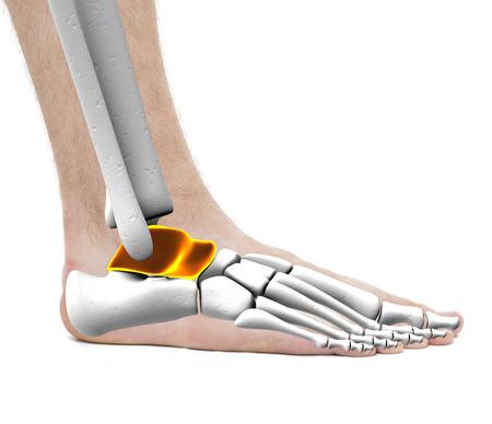 talus: Talus Anklebone Astragalus Bones - Anatomy Male - Studio photo isolated on white