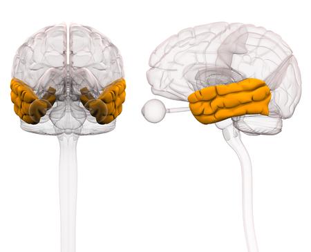 Temporal Lobe Brain Anatomy - 3d illustration Stock Photo