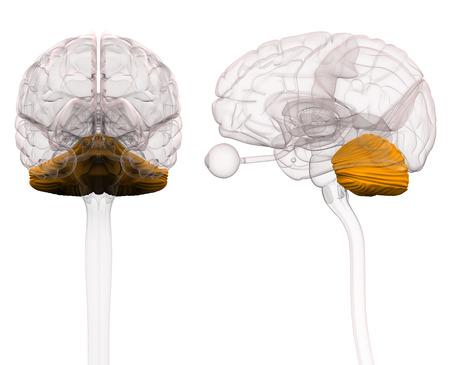 Cerebellum Brain Anatomy - 3d illustration Stock Photo