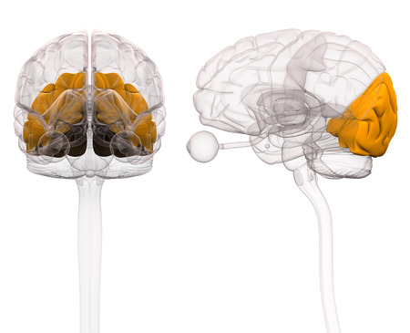 bio medicine: Occipital Brain Anatomy - 3d illustration